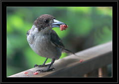 Grey Butcherbird (juvenile) -0106 (Barbara J H) Tags: bird australia qld australianbirds australianwildlife butcherbird maroochydore naturesfinest australiannativebird greybutcherbird cracticustorquatus birdsofaustralia australianfauna juvenilebird wildlifeofaustralia barbarajh faunaofaustralia juvenilegreybutcherbird