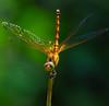 Meadowhawk dragonfly in obelisk position DSC_6285