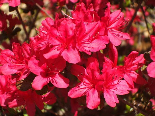 red azelias