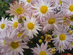 for you (طرقبهtorghabeh) Tags: به شما گلهای طرقبه تقدیم داودی