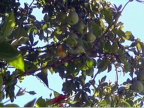 Pasionaria con frutos verdes