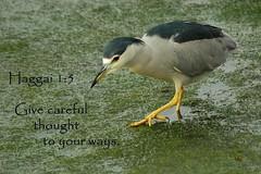 nightheron (flyingibis) Tags: black heron night bible verse crowned haggai