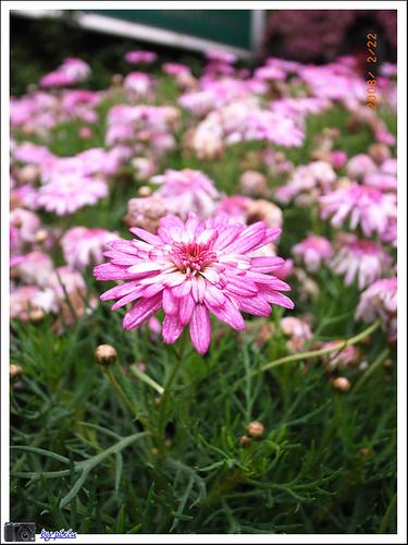陽明山花季 038