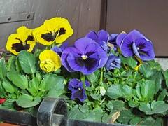 Buona Pasquetta (z.patrizia) Tags: fiori giardini viole fpc abigfave platinumphoto anawesomeshot ysplix ilovemypic goldstaraward photoexplore thepoweroftheflower explorewinner
