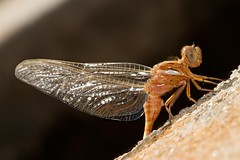 Lista para volar (Popewan) Tags: naturaleza insectos macro dragonfly 100mm recreaciones mywinners platinumphoto excellentphotographerawards