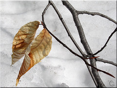 Hanging on (NaPix -- (Time out)) Tags: snow canada japanesegarden spring quebec leafs laurentians  napix