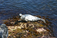 Seal1 (MikeyGumn) Tags: water fieldtrip seal lundy isleoflundy lundyisle uobsobs