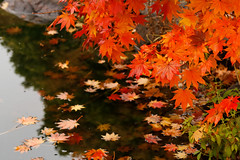 Falling (avirus) Tags: autumn orange color fall water leaves leaf maple bokeh fallen