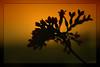Yesterday (Kuzeytac) Tags: sunset red orange flower color colour nature yellow backlight turkey geotagged türkiye turkiye vivid istanbul backlit geotag leyla çiçek sarı lsi kırmızı portakal doğa tabiat canoneos400d canoneosdigitalrebelxti kuzeytac afrikatozları copyrightedallrightsreserved aqualityonlyclub