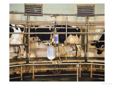 Milking a dairy cow