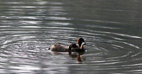 grebe and chick with fish kodai lake 240508