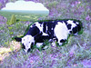 Cow Dreaming of Greener Pastures
