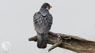 Peregrine Falcons of Alpine | 2107 - 13