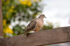 Eared Dove at Quito IMG_9718 (grebberg) Tags: intinan museum equato intinanmuseum quito ecuador january 2017 bird eareddove zenaidaauriculada zenaida dove