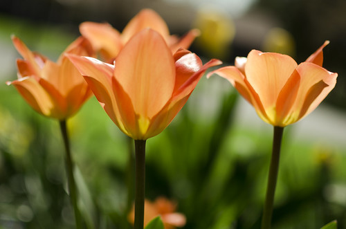 138:365 Tulip trio