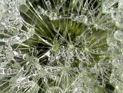 Dandelion Dew (tad2106 - Trudie Davidson Photography) Tags: macro water closeup canon droplets poem quote dandelion ixus seedhead dew shelley waterdroplets dandelionclock canonixus twtmesh080823 winnerbc