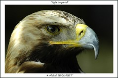 Aigle Imprial (Michel Seguret) Tags: fab verde green nature birds animal animals fun tiere nikon wildlife postcard royal vert sensational grn fabulous michel iq animaux animale shiningstar naturesbest tier oiseaux rocamadour smrgsbord potofgold cartepostale occitanie seguret objektif excelent nikond200 thinkgreen flickrsbest aigles kartpostal amazingcapture 25faves specanimal royalgroup diamondheart aplusphoto diamondstars exemplaryshotsflickrsbest elitephotography naturesauvage dragongoldaward thebestofday gnneniyisi arealgem thebestoftheday checkoutmynewpics gnnenlyisi colourvisions qualitypixels naturespotofgold worldnaturewildlifecloseup photographersgonewild nikonflickraward nikonflickraward flickrverte naturallymagnificent 100commentgroup vosplusbellesphotos momentdimagination flickrpopularphotographer croquenature allkindsofmacroscloseups excelenceofphotographer excelenceofphotographeraward flickraward flickrsbestseriousphotographers michelseguret