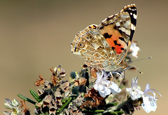 Butterfly (David Lev) Tags: plants butterfly searchthebest rosemary mygarden soe polaris peopleschoice naturesfinest macromundo splendiferous nirim mywinner shieldofexcellence aplusphoto 1on1allbugs superbmasterpiece goldenphotographeraward diamondclassphotographer flickrdiamond brillianteyejewel ~vivid~ theperfectphotographer thegardenofzen