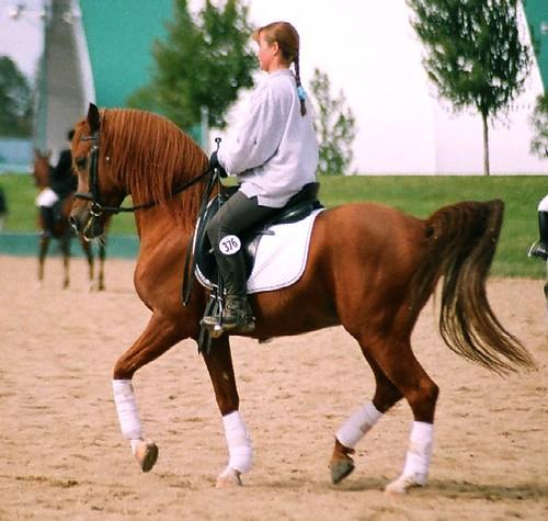 cheval arabe en dressage