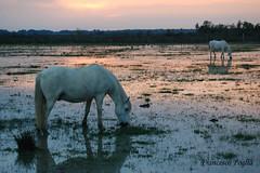 Cavallo al pascolo (franz75) Tags: sunset horse france nature d50 nikon tramonto natura provence francia cavallo provenza camargue naturalmente wowiekazowie ysplix