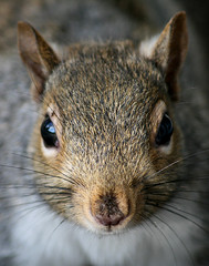 Dirty Little Squirrel (shesnuckinfuts) Tags: autumn nature nose backyard squirrel quote wildlife dirty washingtonstate soe kentwa voicesinthewilderness instantfave specanimal animalkingdomelite willdurant mywinners shesnuckinfuts thoughtstoliveby november2007