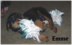e1 (muslovedogs) Tags: dogs puppy rottweiler teaara zeusoffspring