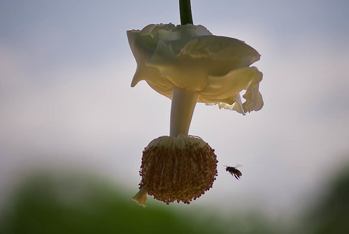 Baobab's flower and a bee, Angola por kodilu.