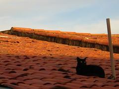 Felis silvestris catus (Biodisk) Tags: black rooftop cat gato catus telhado felis