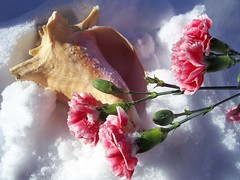 shell and roses (Essence of :Hope♥s Fine art Photography) Tags: pink sea roses snow shell blueribbonwinner anawesomeshot mimsjan2008