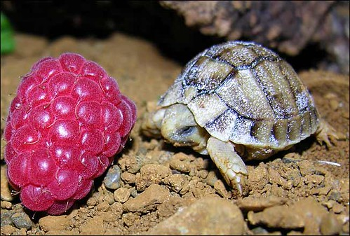 turtle the size of raspberry