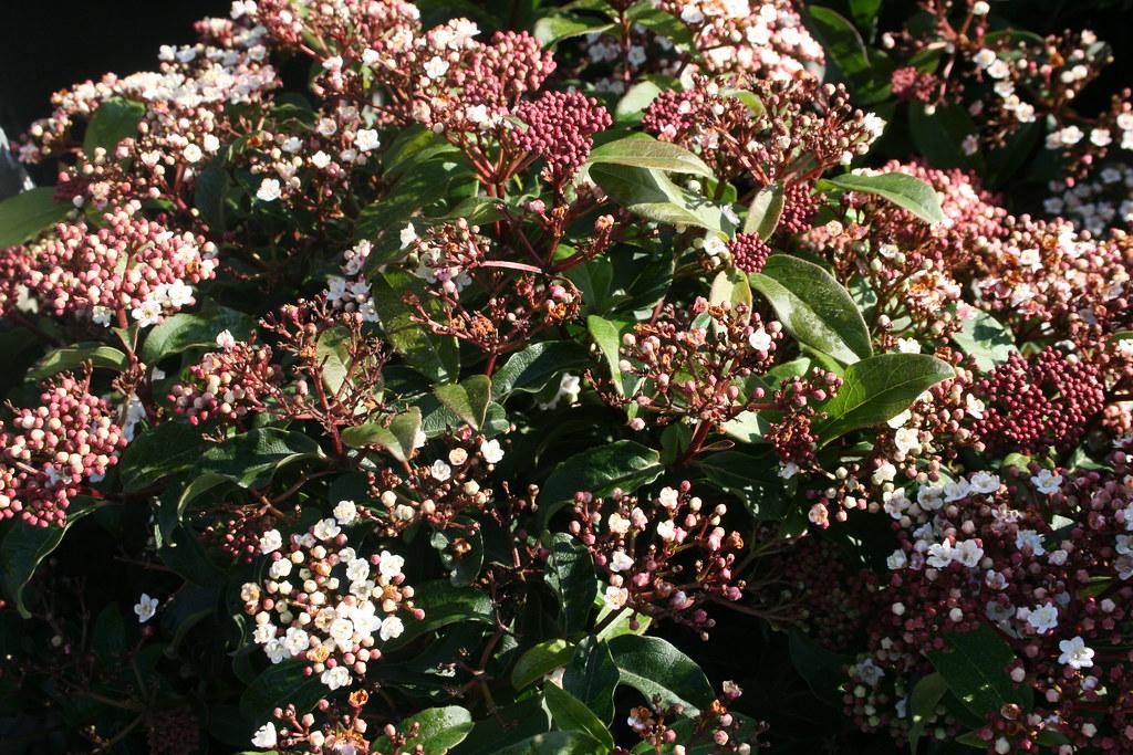 Viburnum tinus 'Spring Bouquet' (LAURUSTINUS)