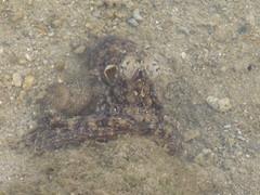 Octopus (Class Cephalopoda)