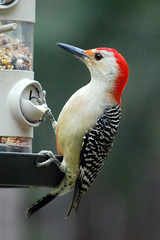 Red Bellied Woodpecker (Melanerpes carolinus) (Rick Shackletons Photographic Adventures) Tags: backyard florida rick fl redbelliedwoodpecker shackleton melanerpescarolinus naplesfl southwestflorida naturesfinest woodpacker rickshackleton