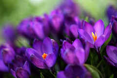 A field of crocus! (Tess_) Tags: tag3 taggedout tag2 tag1