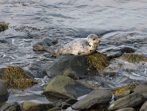 Harbor Seal (Sachuest Point, Middletown, RI)