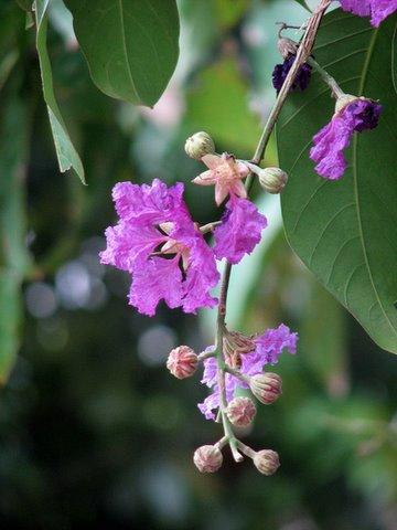 regiflora..queen's flower lalbagh 220308