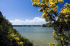 Desiderio di una Pasquetta soleggiata (TeoMat) Tags: lake flower green yellow easter spring mediterraneo lakes otranto ginestra laghialimini absolutelystunningscapes