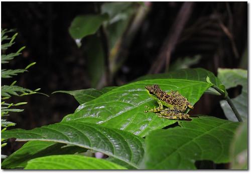 Green Rock Frog