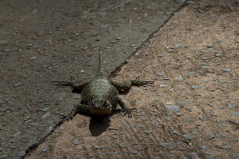 Iguazu Lizard
