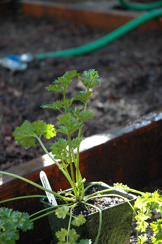 Parsley Plant Awaiting Planting