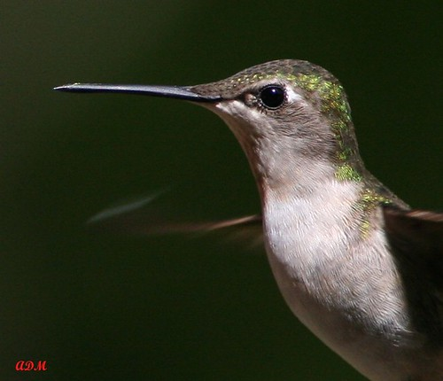 Ruby Throated Hummingbird (Female) Portrait IMG_5044