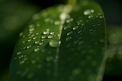 Green Tears (Pascal Hertleif) Tags: plant macro nature water rain drops wasser natur pflanze drop best bochum regen tropfen fotobuch photowalking greenbook tokina100 photowalkingbochum photowalkbochum