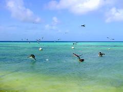Los Roques - seabirds (drora) Tags: sea venezuela lovepeace seabirds losroques drora wonderfulworldmix qualitypixels
