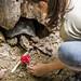 Turtle Gamboa Wildlife Rescue pandemonio 2017 - 01