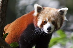 Firefox (WilliamBullimore) Tags: nature animal fauna firefox au australia brisbane redpanda queensland platinumheartaward