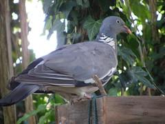 woodpigeon (Blackcap1000) Tags: wood bird table pigeon wildlife british milton keynes soe potofgold woodpigeon