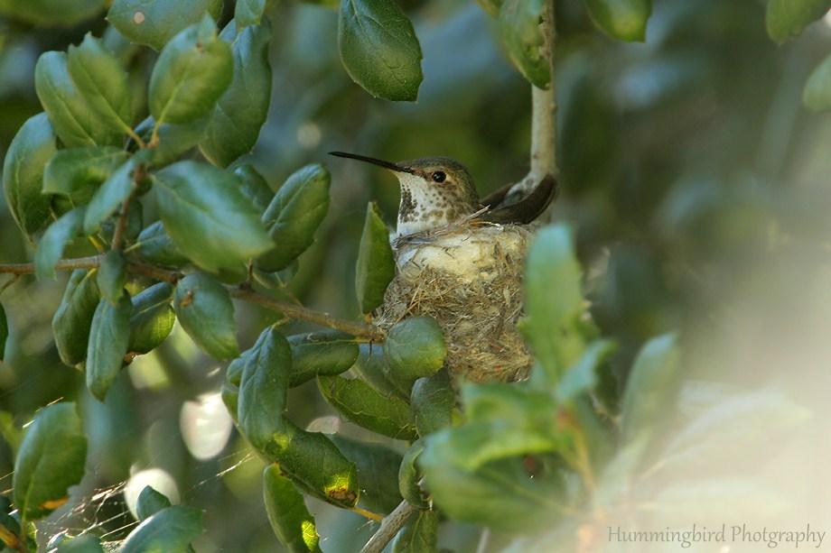 Allen's Hummingbird nest 060111