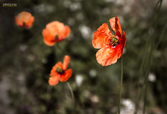 Poppies ( alfanhu) Tags: wallpaper primavera spring background decoration poppies campo springtime villajoyosa amapolas tamron1750 vision:plant=089 vision:flower=0559