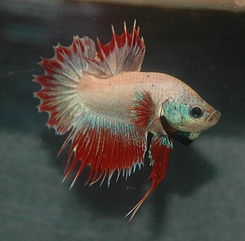 Betta Fish in freshwater aquarium