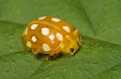"Orange Ladybird (Halyzia sedecimgutta(2) • <a style=""font-size:0.8em;"" href=""http://www.flickr.com/photos/57024565@N00/1695498793/"" target=""_blank"">View on Flickr</a>"